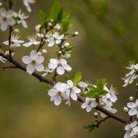 И цветущие деревья. Арома-а-а-т ))) :: Павел Голубев