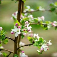 яблоня цветет :: yameug _