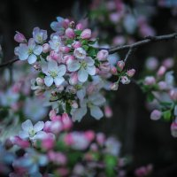 Яблоневый цвет. :: Nonna
