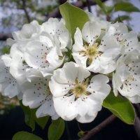 Расцветают яблони и груши.... :: Татьяна Пальчикова
