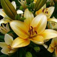 Лилии в саду :: Людмила (Руца)