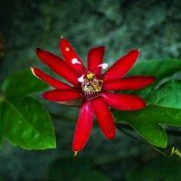 Аленький цветочек :: Александр