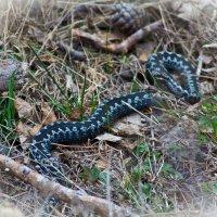 Первые змеи(Гадюка обыкновенная) :: игорь козельцев