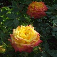 Роза :: Anton Сараев