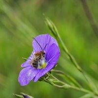 Пчела длинноусая :: Александр Земляной