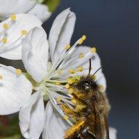 Пчёлка :: Сергей Мосякин
