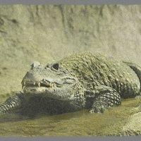 Крокодильчик :: Виктория Трунова
