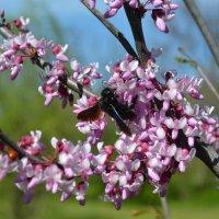 Весеннее цветение :: Agnivarshi Малтыз