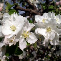 Красота цветения :: Татьяна Пальчикова
