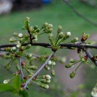 Почки вишни :: Анна Чигряй