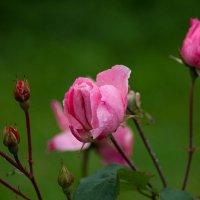 Розовые розы :: Сергей Францев