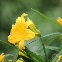 Желтые цветы :: Сергей Францев