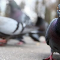 голубь :: Игорь Гудков