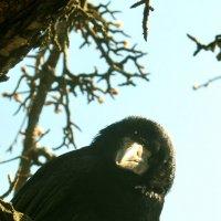 Любопытная ворона :: Сергей Иванов