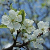 Яблоневый цвет :: Alena Cyargeenka