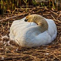 Про лебедей :: Владимир Самсонов