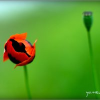 poppys2 :: yameug _