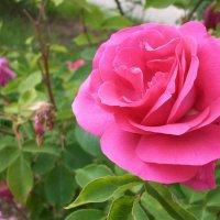 Розовая роза :: Natasha Chevtchenko