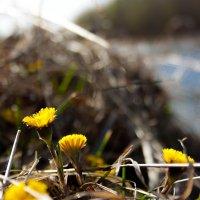 Как желтые веснушки на носу, как  солнечные блики на воде, встречает мать-и-мачеха весну :: Мила Солнечная