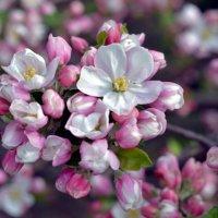 Яблоня в цвету... :: Олеся