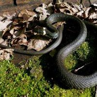 Великий змей :: ES