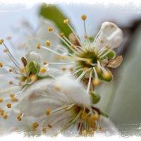 Яблони в цвету :: Александр Лебедев