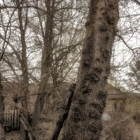 тополя :: павел бритшев