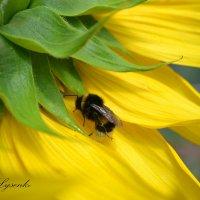 Пчелка :: Наталья Лысенко