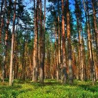 Сосновый лес :: Angelika Faustova