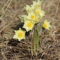"""первые цветы весны """"Стародубки"""" :: Алена Дегтярёва"""