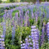 Люпин — древнейшее культурное растение :: Александра Старых