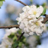 Цветущая яблоня :: Дина Seredina