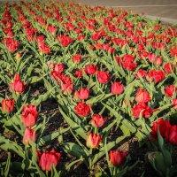 Тюльпаны. :: Nonna