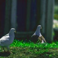 любовь и голуби 2 :: Андрей Афонасьев