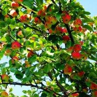 Кто хочет яблочки?! :: Алена Ахметова