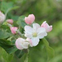 Яблоня цветет :: Екатерина Гриценюк