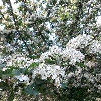 цветущее дерево :: Ольга Ходус