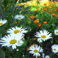 Ромашки садовые :: Angelika Faustova