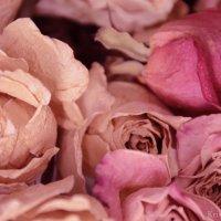 сухие розы :: Кристина Рубанова
