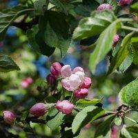 Яблони в цвету :: Алексей Бродовой