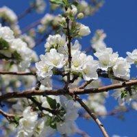 Яблони в цвету :: Андрей Щукин