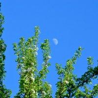 Игра света цвет груши и луна... :: Константин Сафронов