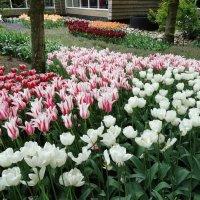 Тюльпаны :: svk