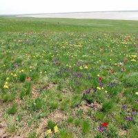 Цветущая степь у соленого озера Лопуховатое. :: Лариса Авдонина