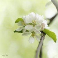 Дикая яблоня :: Александр Орлов
