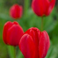 Тюльпаны :: Ольга Савотина