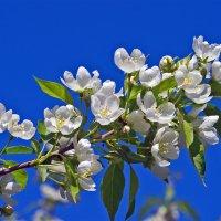 Вишня цветет. :: Сергей Фомичев