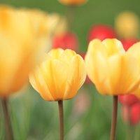 тюльпаны :: Денис Филиппов