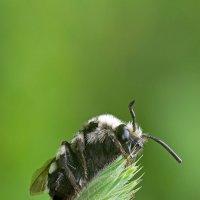 И снова пчелка.... :: Александр Земляной
