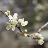 Слива, груша, яблоня...весеннее цветение :: Stanislav Zanegin